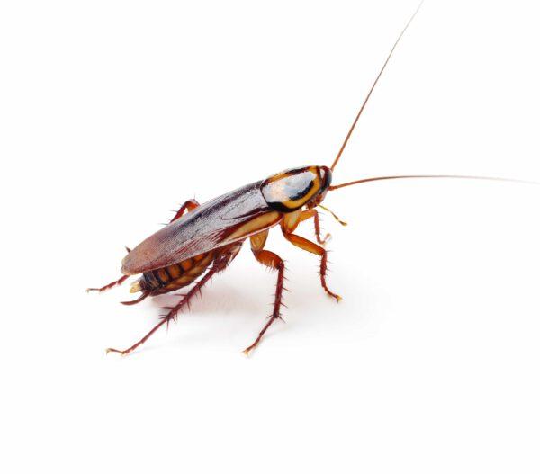cockroach blattella germanica